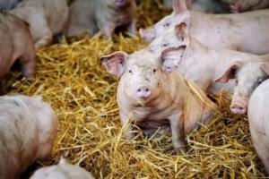 一个月死了50多头肥猪有人却说不是非瘟那是啥病该咋治疗