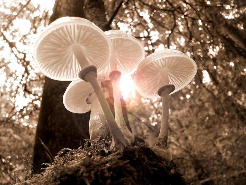 香蘑要怎么吃吃蘑菇需要注意什么_